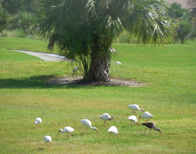 9-26-13 birds on golf course 018