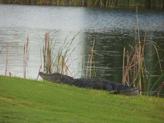 9-21-golf course-alligator 095