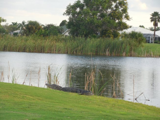 9-21-golf course-alligator 098